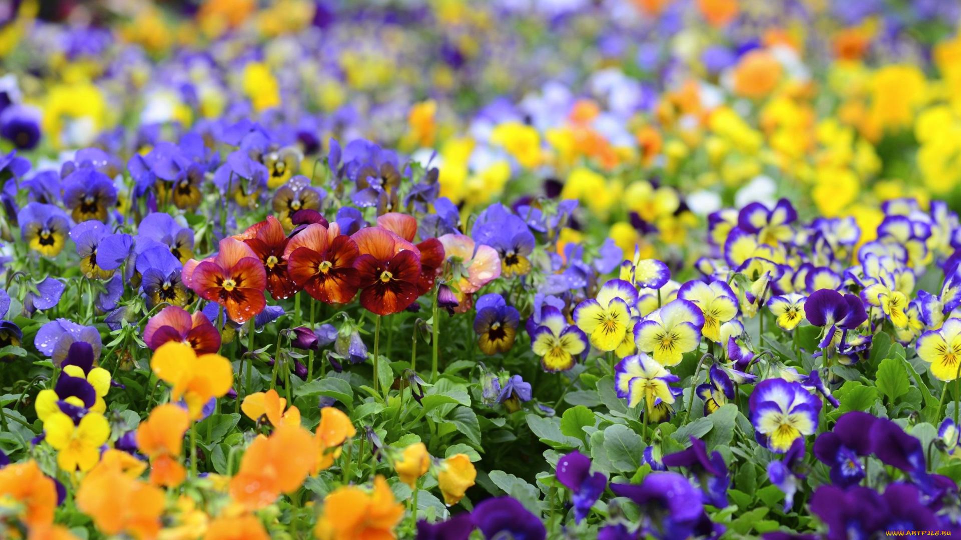Анютины глазки горшок цветы природа анонимно