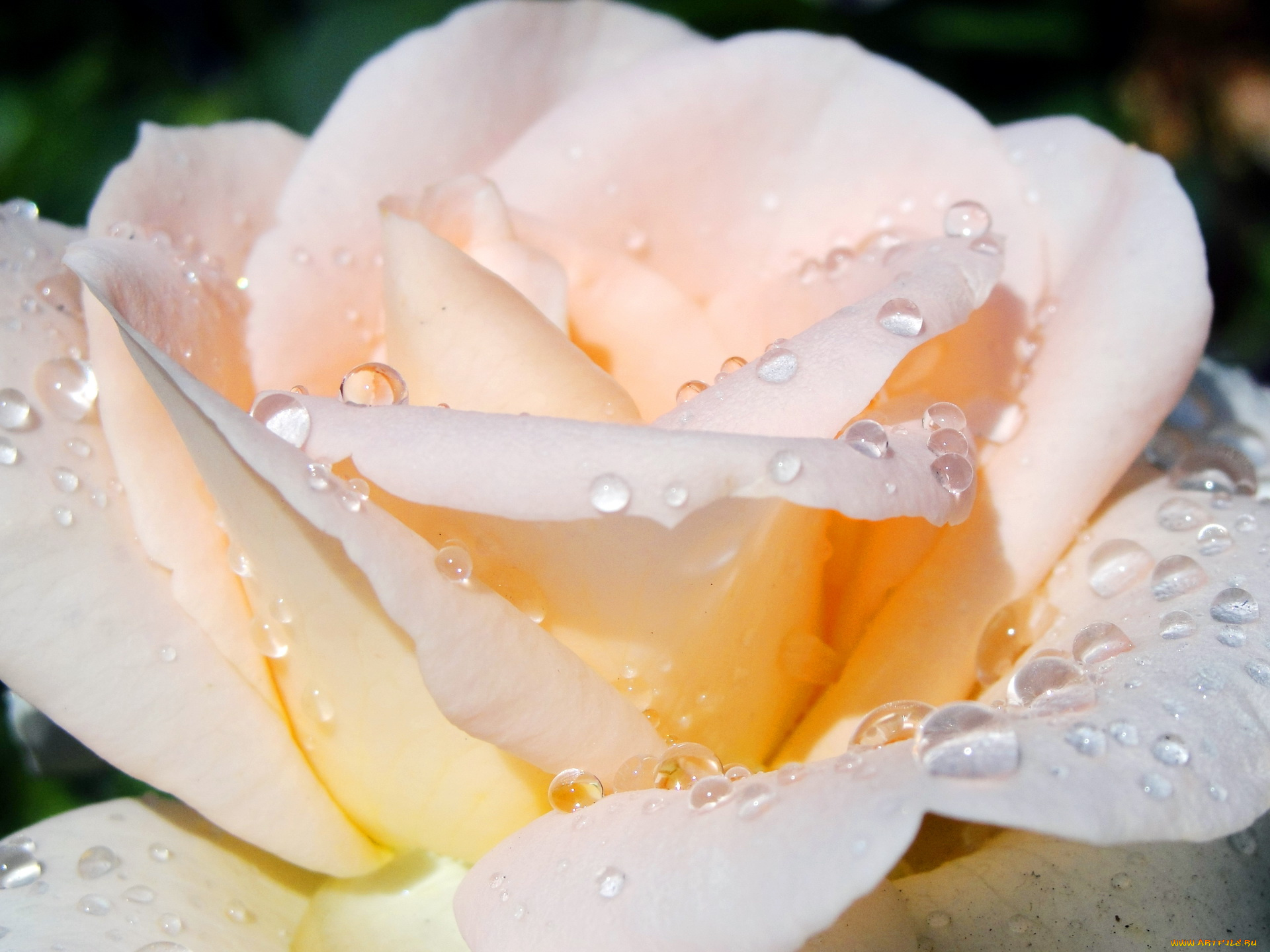 роза капли бутон загрузить