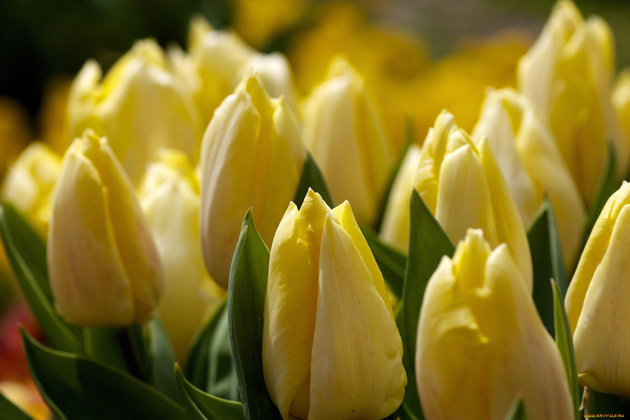 Желтый тюльпан макро без смс
