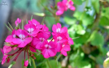 Картинка цветы герань розовый