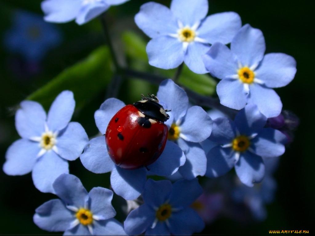 Цветы незабудки в картинках