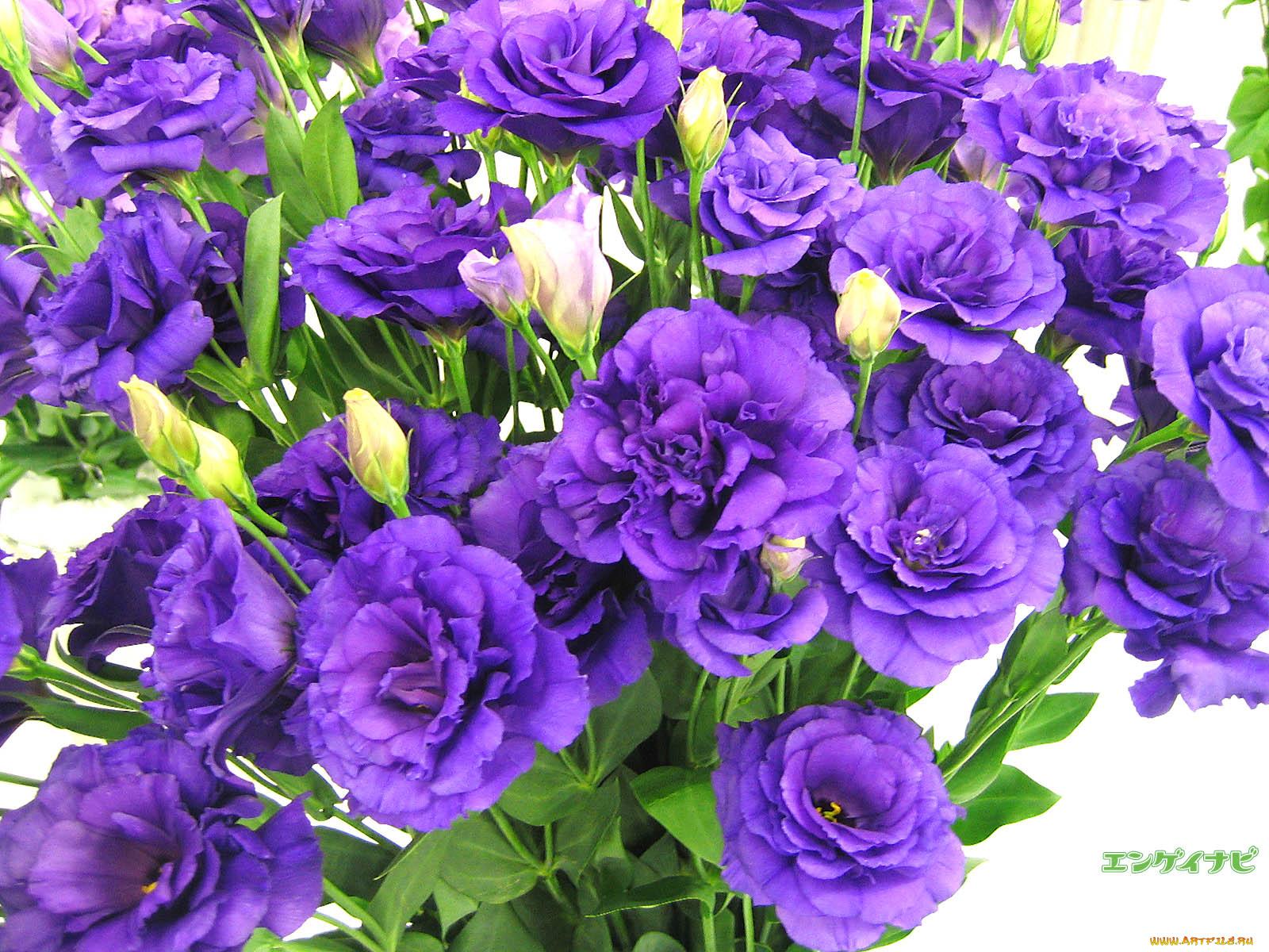 Лизиантус фото цветов в саду