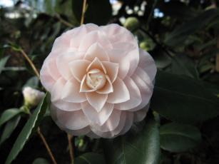 Картинка цветы камелии бледно-розовый нежность