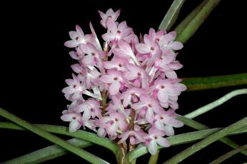 Картинка цветы орхидеи бледно-розовый ветка экзотика