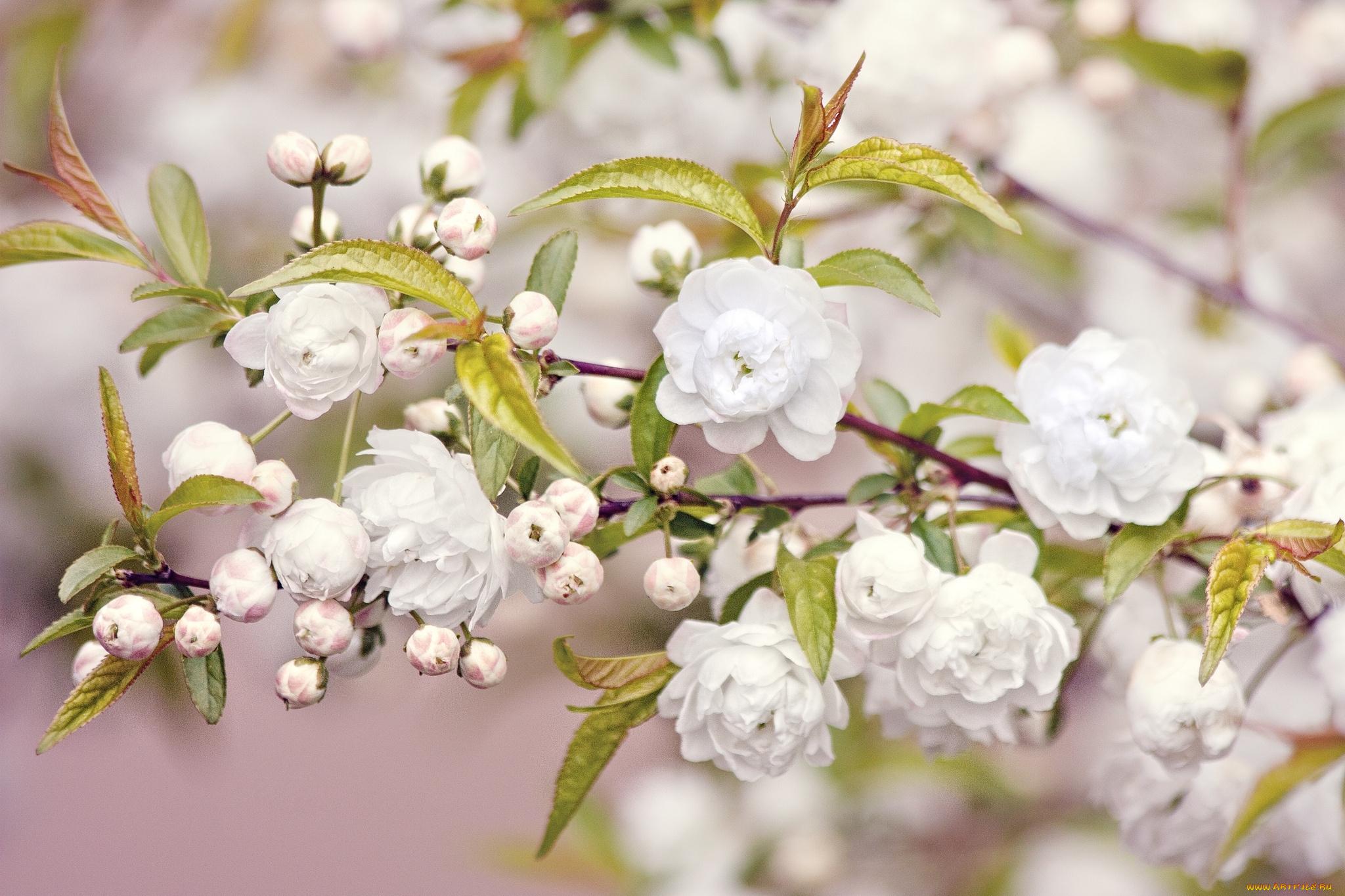 природа цветы белые скачать