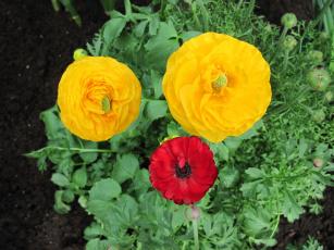 Bindweed, flowering, green