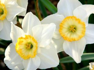 обоя цветы, нарциссы