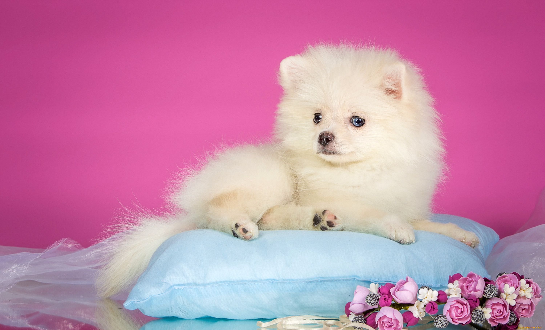 белые собаки щенки животные розовый фон  № 2918045  скачать