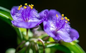 Картинка цветы традесканции традесканция макро боке