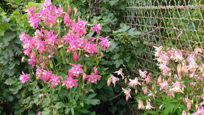 Обои картинки фото цветы, аквилегия , водосбор