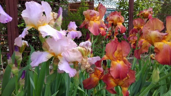 Обои картинки фото цветы, ирисы