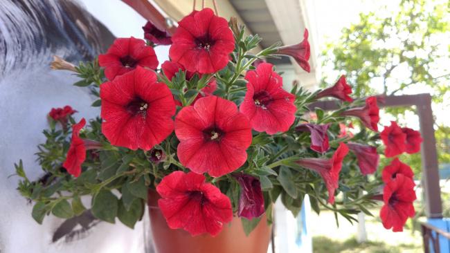 Обои картинки фото цветы, петунии,  калибрахоа, красные