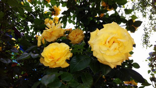 Обои картинки фото цветы, розы, роза