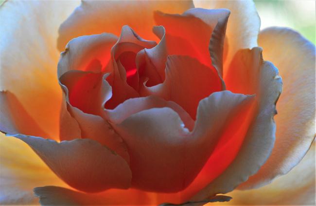 Обои картинки фото цветы, розы, лепестки, макро, роза, цветок