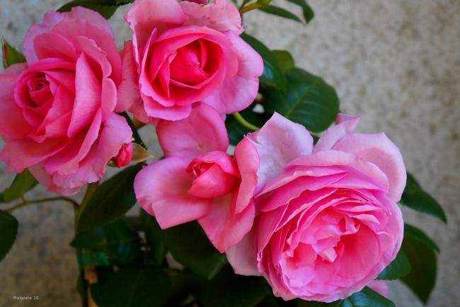 Обои картинки фото цветы, розы, розовый