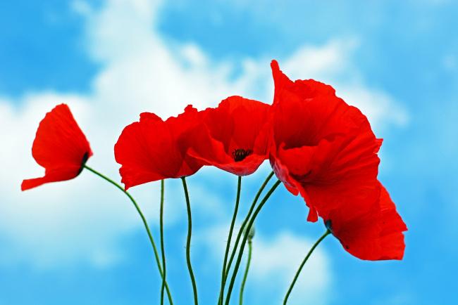 Обои картинки фото цветы, маки, красный, небо