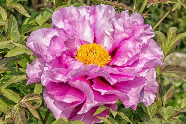 Обои картинки фото цветы, пионы, макро, розовый, пион