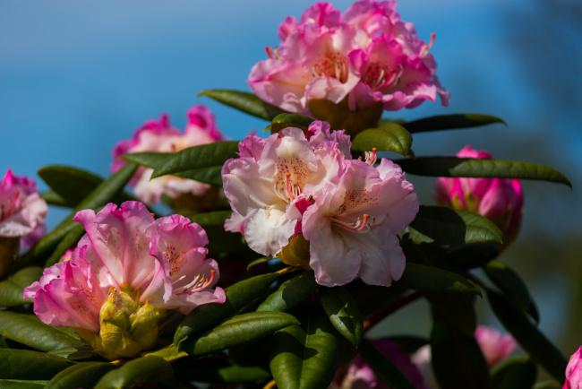 Обои картинки фото цветы, рододендроны , азалии, азалия, рододендрон, макро