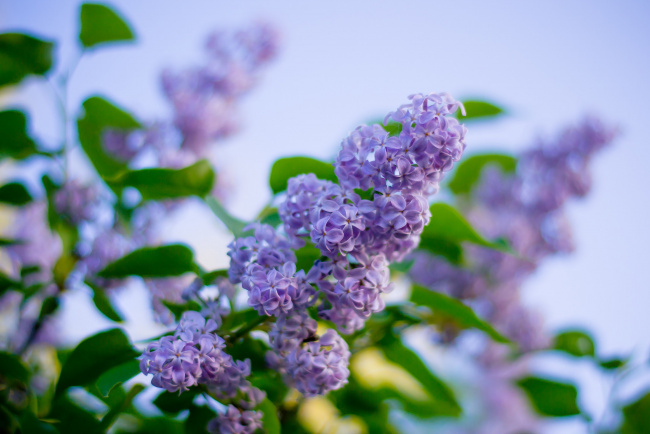 Обои картинки фото цветы, сирень, весна, куст