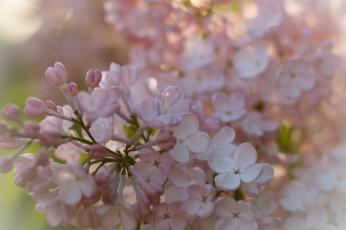 обоя цветы, сирень, лепестки, цветение, сиреневые