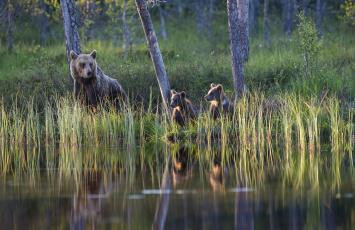 обоя животные, медведи, лес, озеро