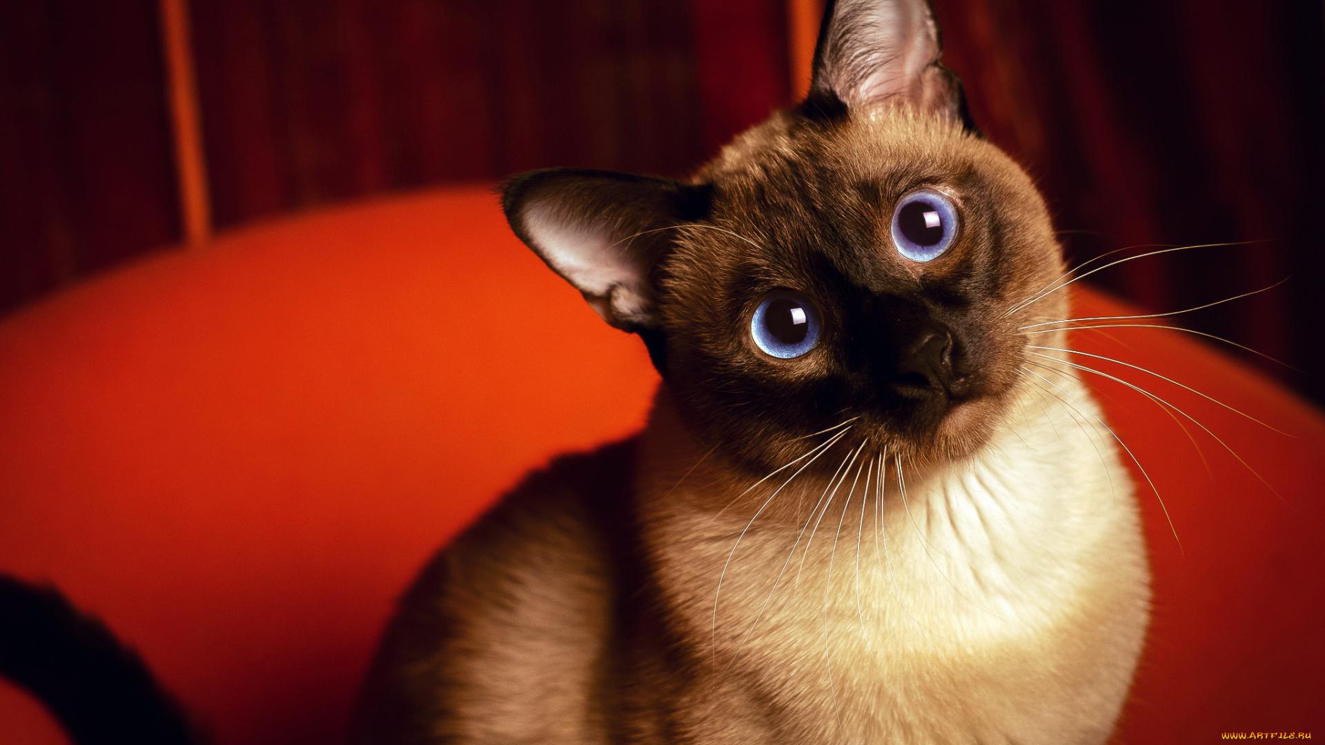 Сеамский кот  № 171557  скачать