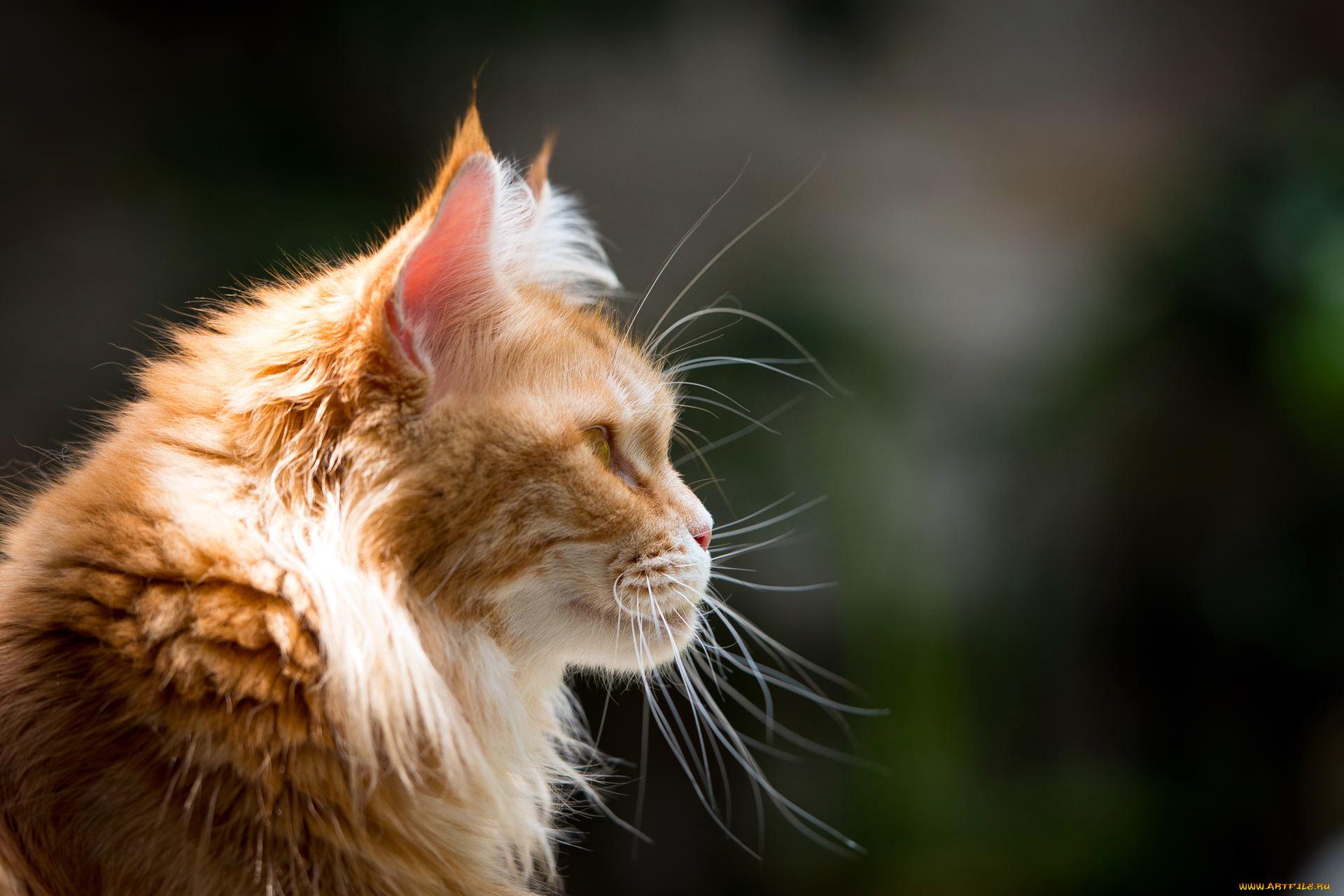 рыжий кот природа морда животное без смс