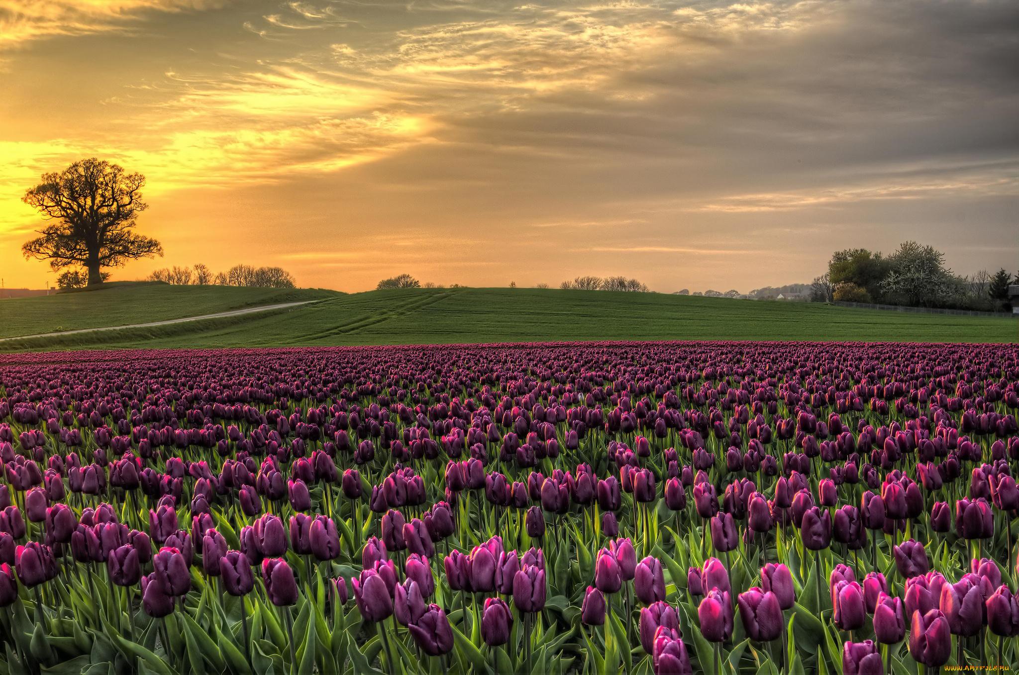 тюльпаны поле закат без смс