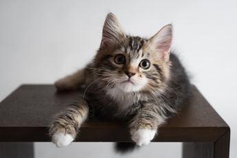 Картинка животные коты фон киса коте кот кошка котёнок взгляд стол