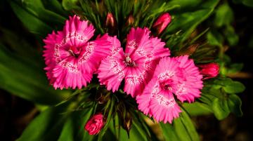 природа цветы гвоздики без смс