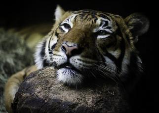 обоя животные, тигры, глаза, тигр, дикая, кошка, морда, взгляд