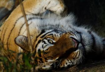обоя животные, тигры, тигрёнок, взгляд, кошка, амурский, тигр, мох, камень, котёнок