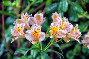 обоя цветы, альстромерия, ветка, боке