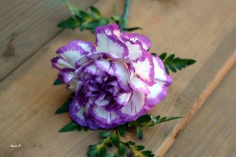 обоя цветы, гвоздики, двухцветная, гвоздика, одиночка