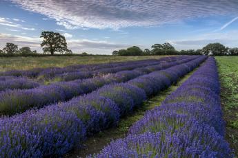 обоя цветы, лаванда, деревья, поле, пейзаж