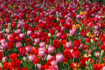 обоя цветы, тюльпаны, бутоны, цветение, яркость, лепестки, листья