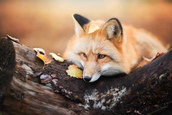 обоя животные, лисы, бревно, животное, лиса, осень, листья, дерево