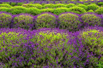 обоя цветы, лаванда, клумба, узор