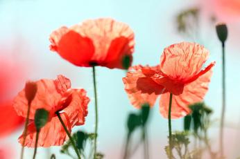 обоя цветы, маки, красные
