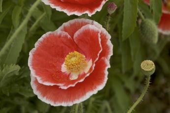 обоя цветы, маки, лепестки