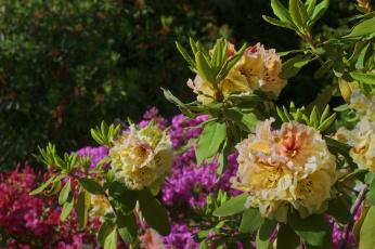 обоя цветы, рододендроны , азалии, листья, рододендрон, куст, азалия