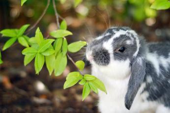 обоя животные, кролики,  зайцы, листья, кролик, уши, нос, ветка