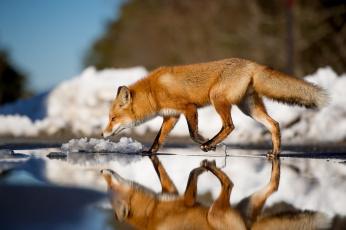 обоя животные, лисы, лиса, отражение, зима, вода, хвост, животное