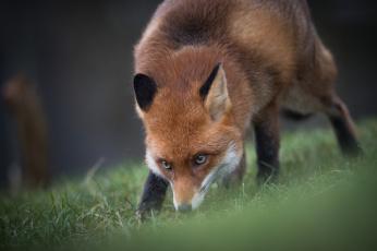 обоя животные, лисы, ушки, мордочка, взгляд, нюхает, лиса