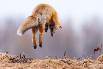обоя животные, лисы, в, воздухе, хвост, охота, лиса, прыжок, лапы
