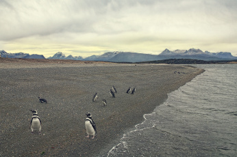 обоя животные, пингвины, берег, море, пляж, птицы