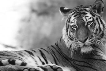 обоя животные, тигры, отдых, камни, кошка, амурский, тигр