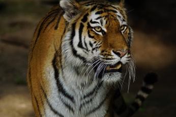 обоя животные, тигры, отдых, кошка, амурский, тигр
