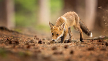 обоя животные, лисы, нос, ударов, животное, лиса, красное, лес, лицо