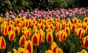 обоя цветы, тюльпаны, лепестки, цветение, разноцветные, много